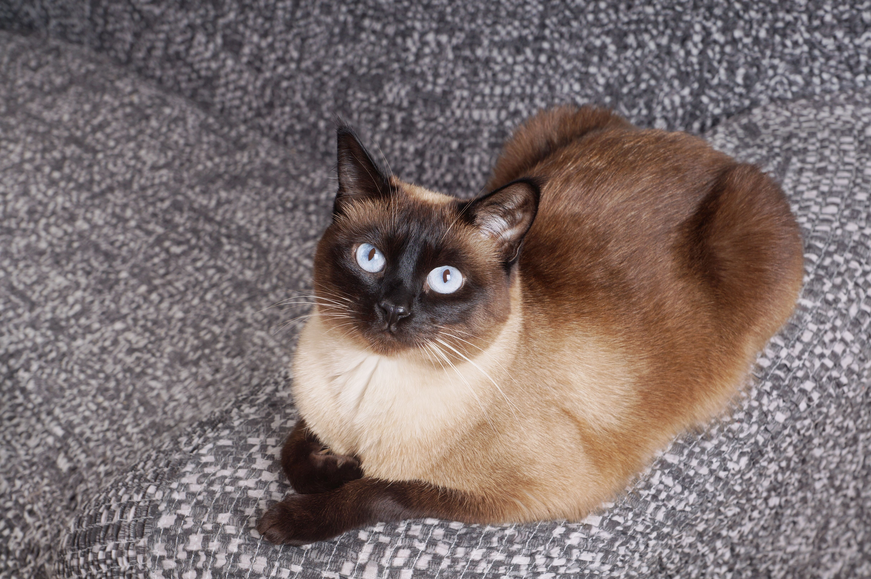 Retrato de un gato siamés