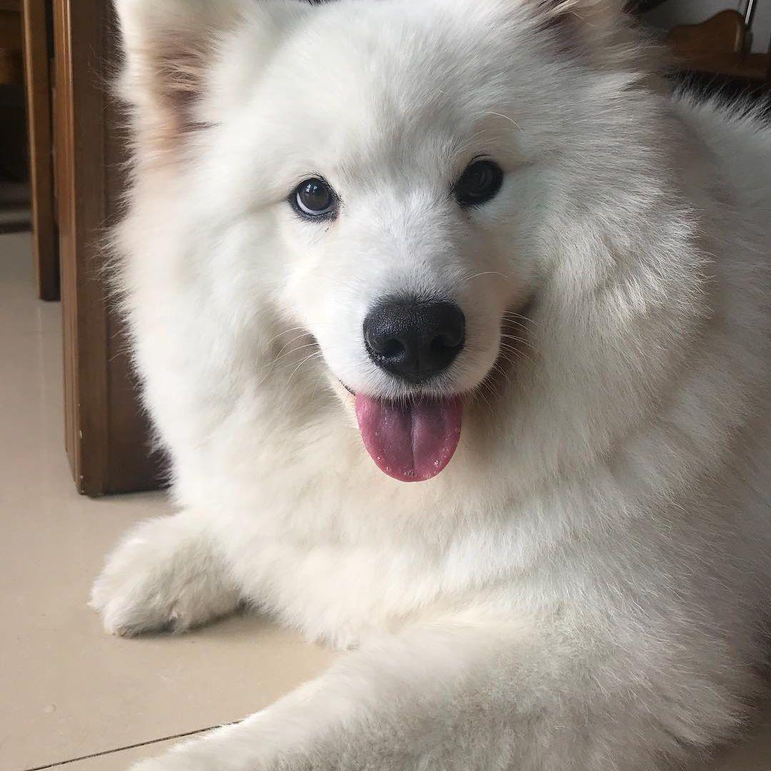 A Samoyed smiling at the camera.