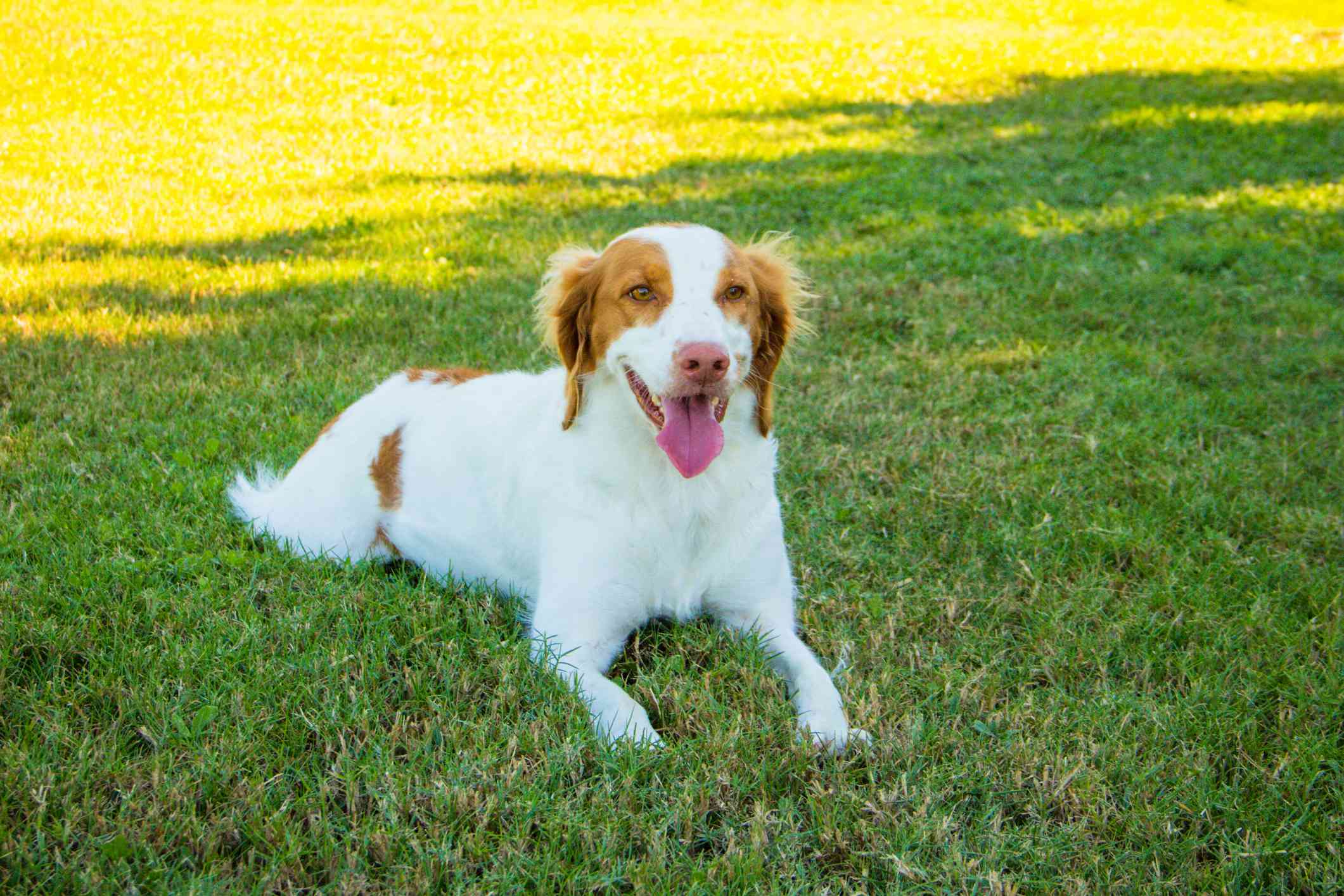perro de perro de aguas de Bretaña tirado en el pasto