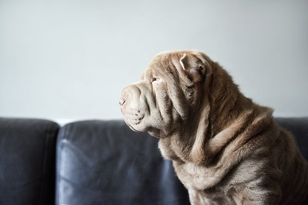 Dog face with lots of skin folds sitting on sofa