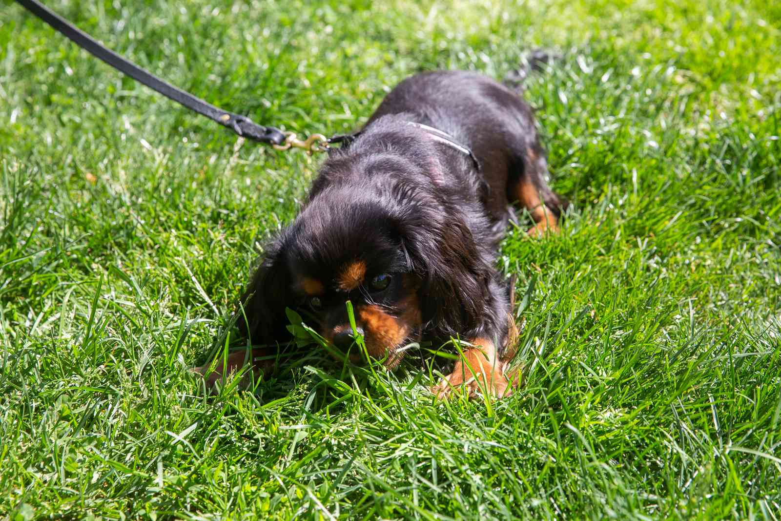 Brown and black puppy on leash grass grazing
