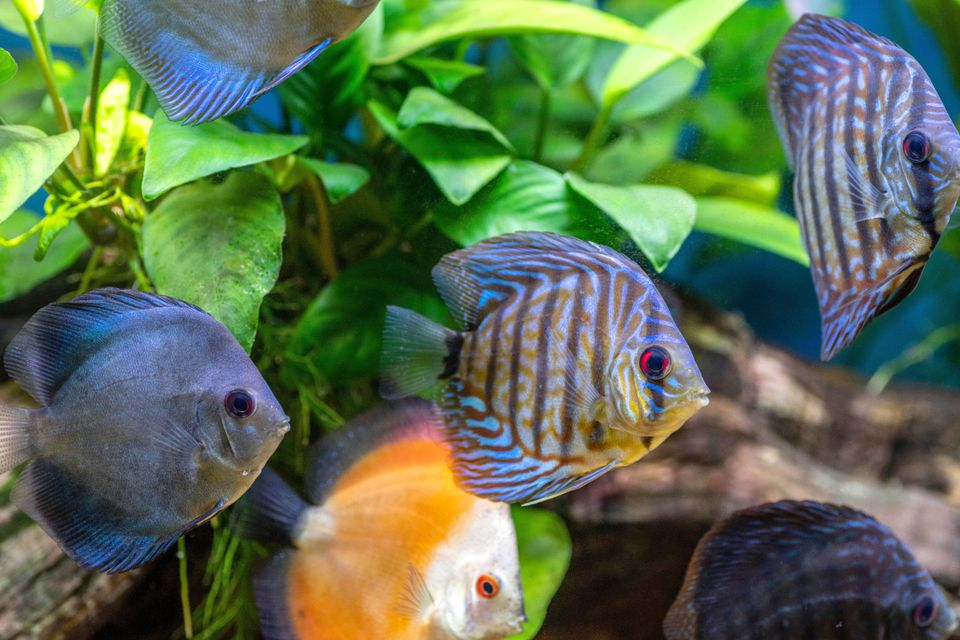 Aquarium with blue, orange and blue-striped fish swimming in front of underwater leaves