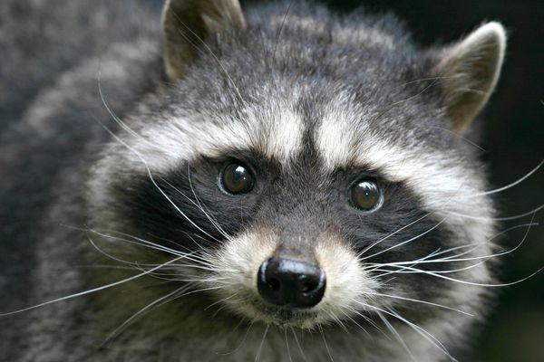 Close up of a raccoon face