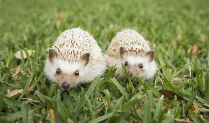 Two hedgehogs sit in the grass together.