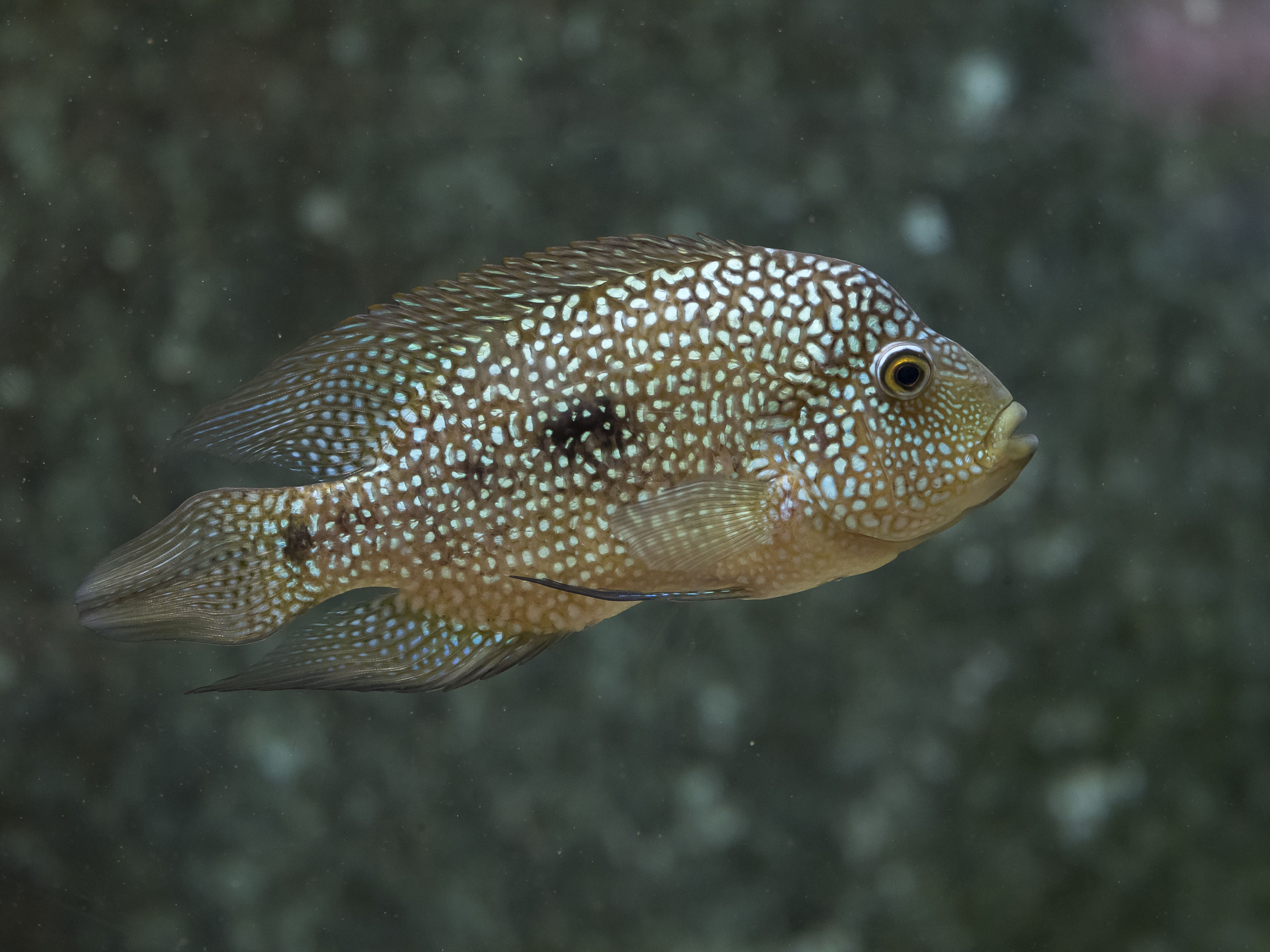 The fish texas cichlid (Cichlasoma cyanoguttatum). Originally from North America.