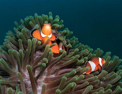 Ocellaris Clownfish and Anemone