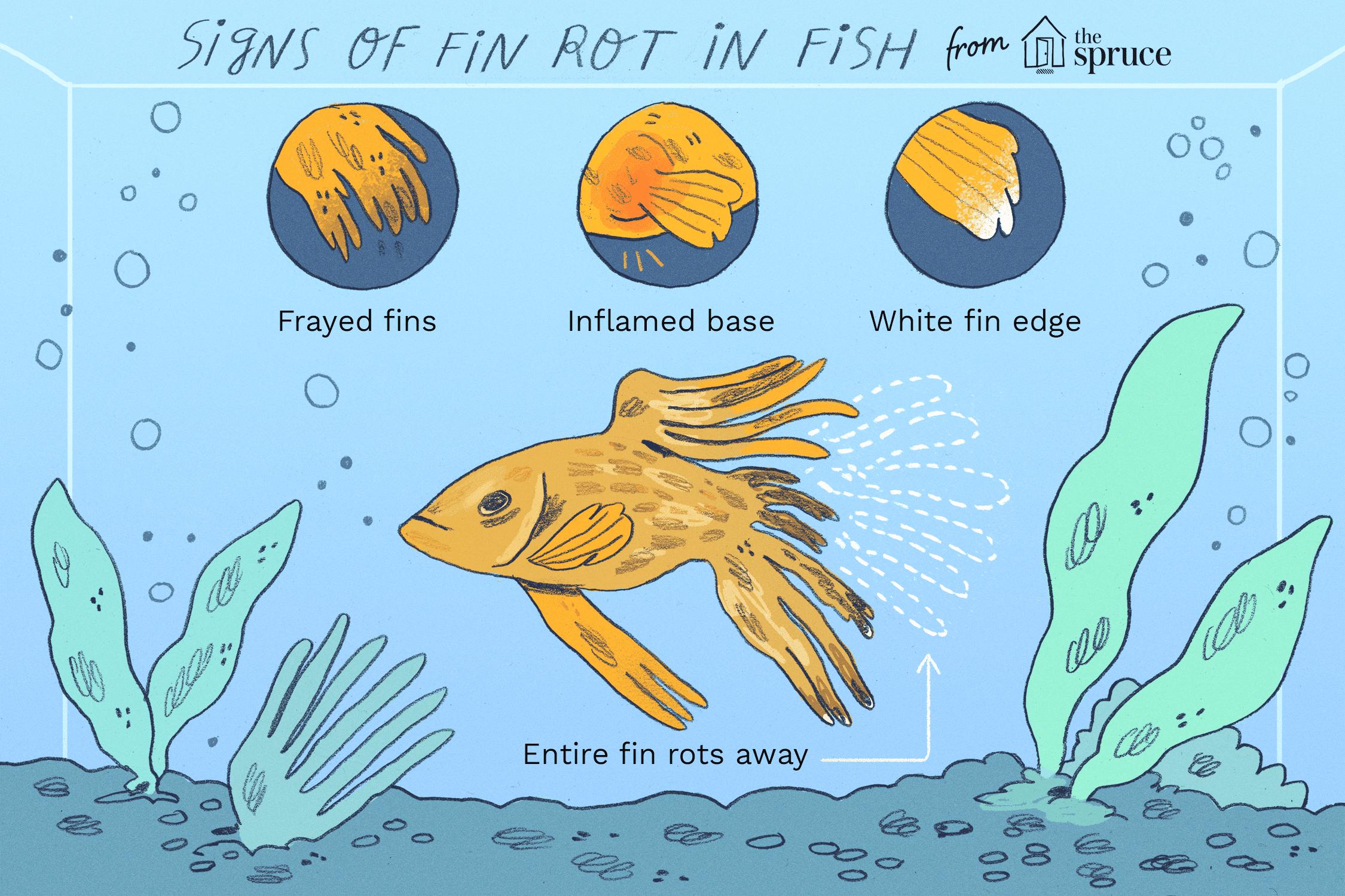 Ilustración de signos de pudrición de aleta en peces
