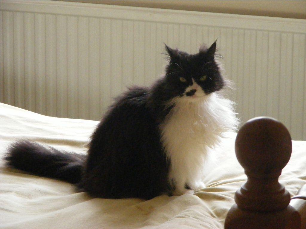 Un gato esmoquin de pelo largo