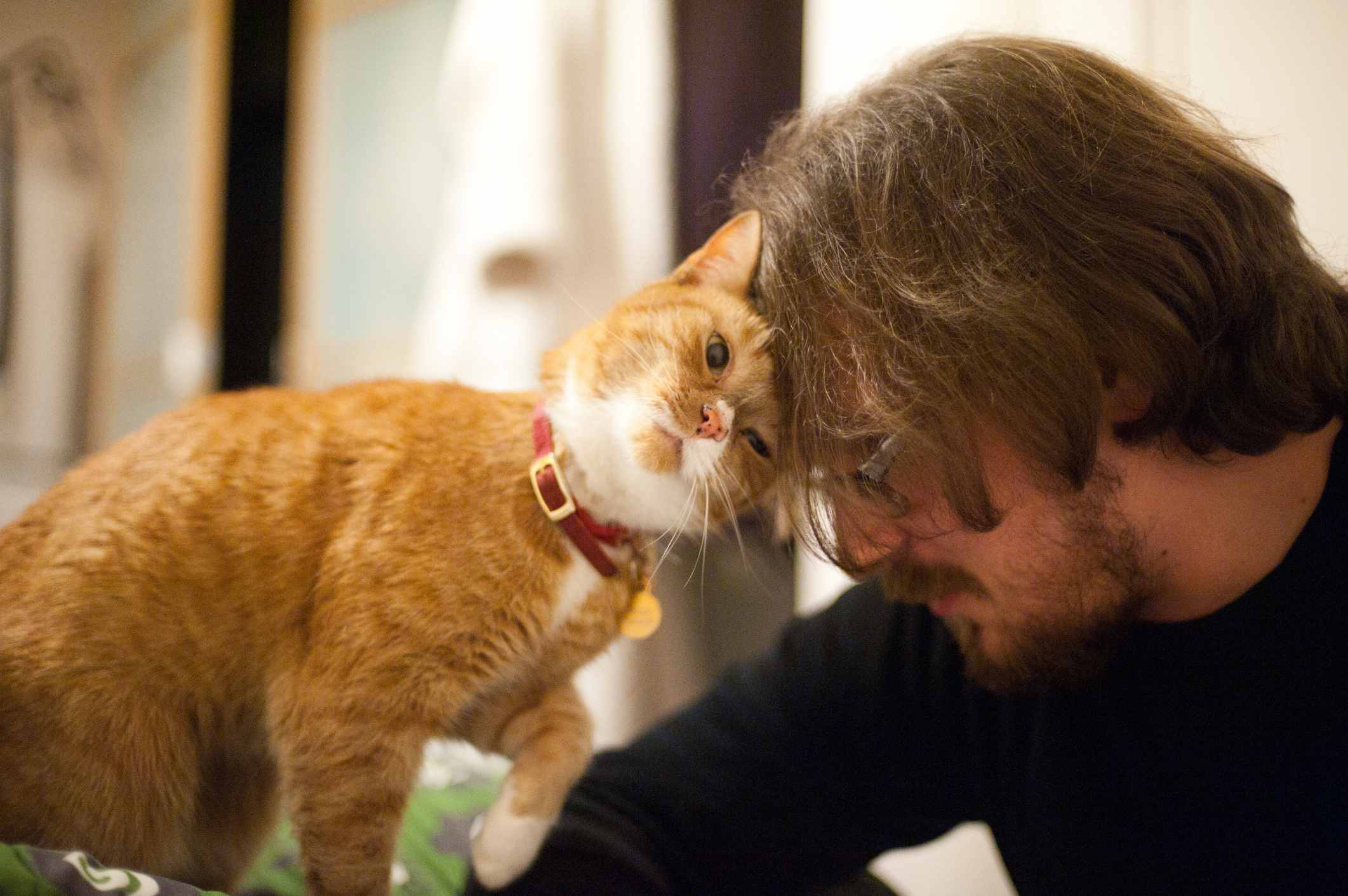 Orange and white cat head butting a man