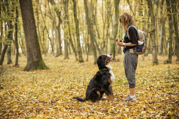 A young woman teaches her young Bernese Mountain Dog how to sit