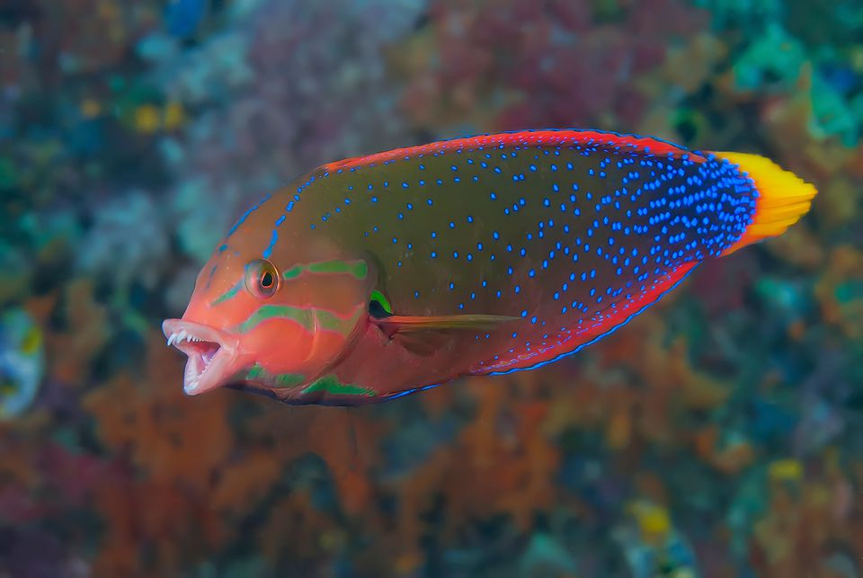 Yellowtail Coris (Wrasse)