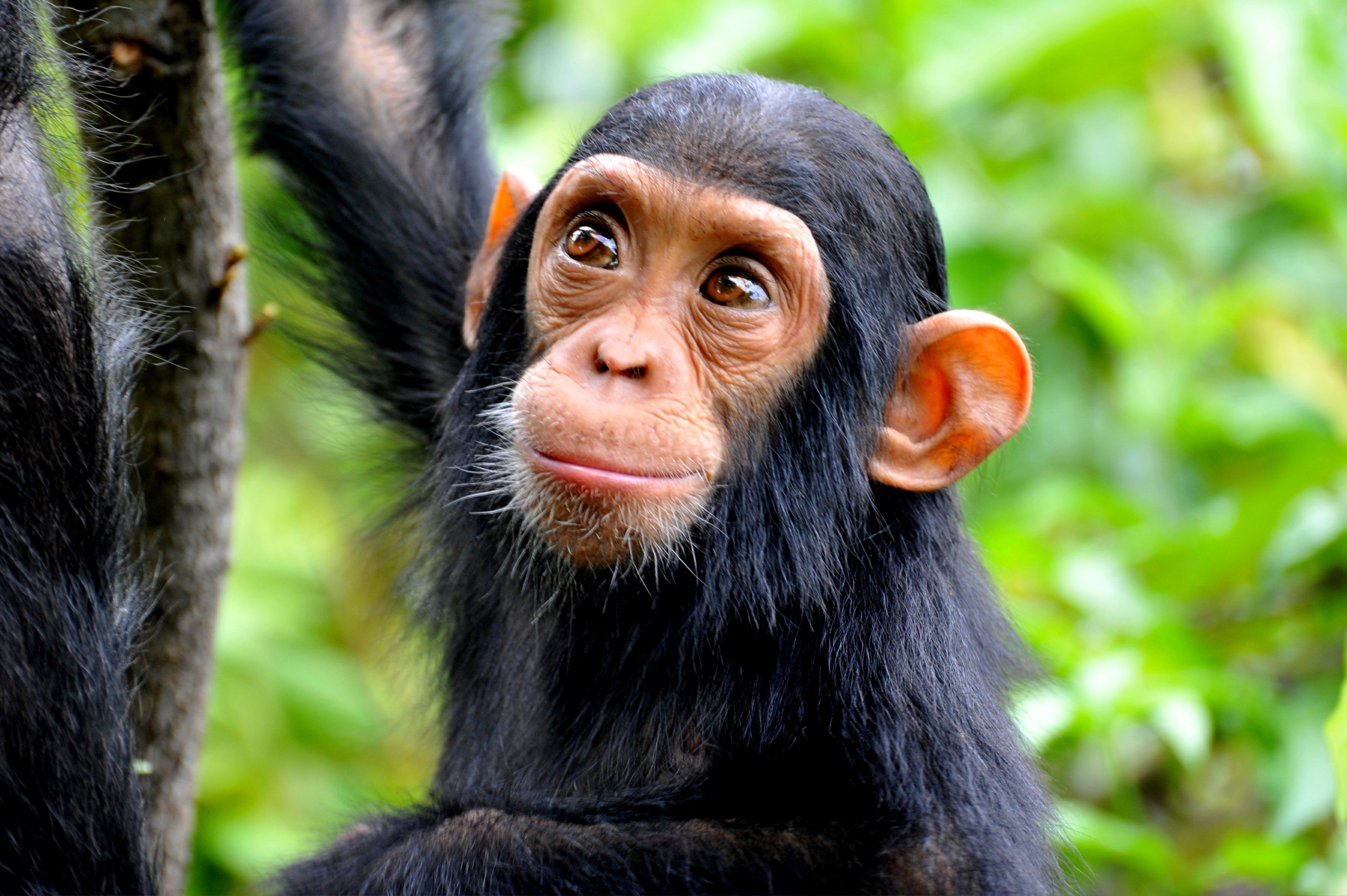 Keeping and Caring for Chimpanzees as Pets
