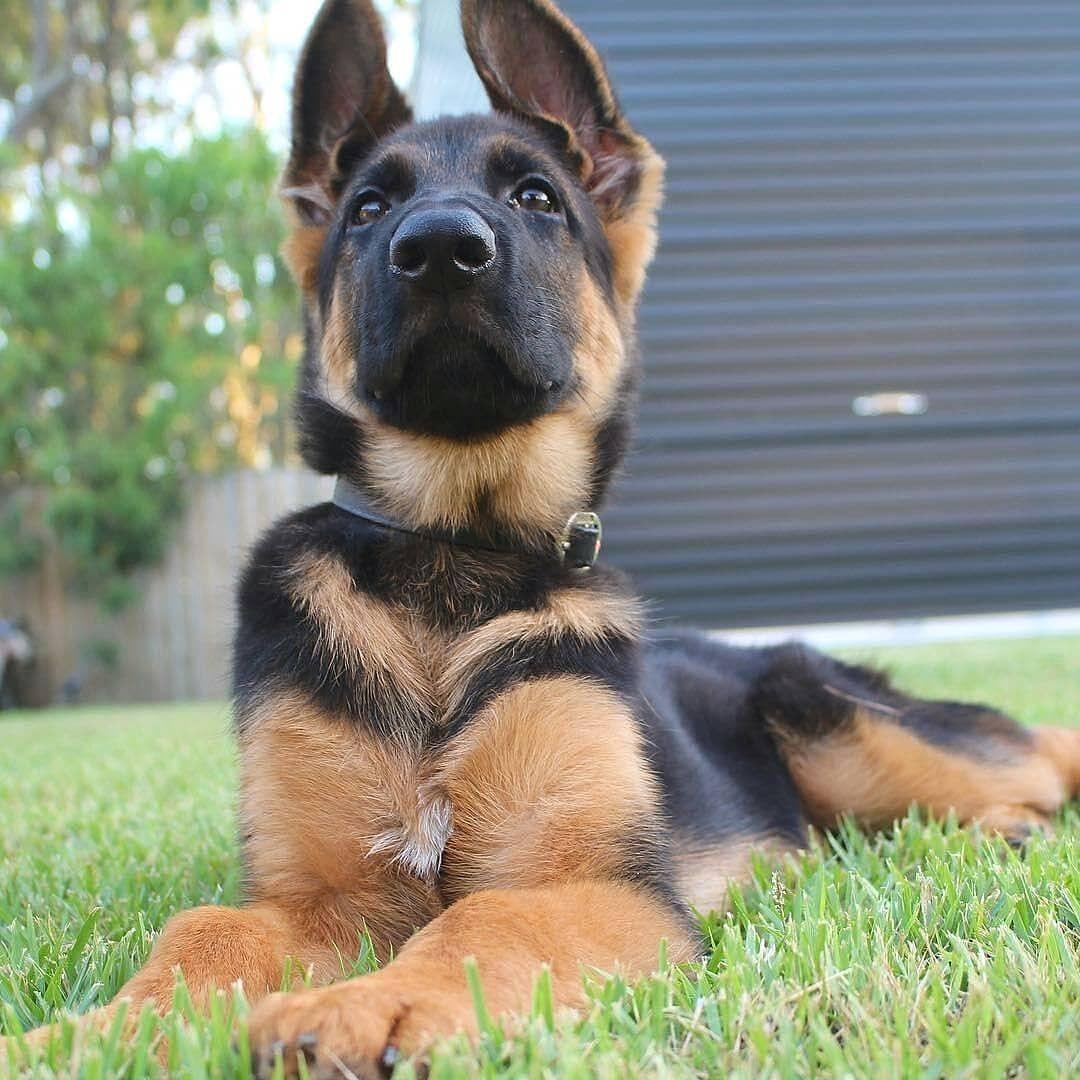 German Shepherd puppies for sale | Western Australia