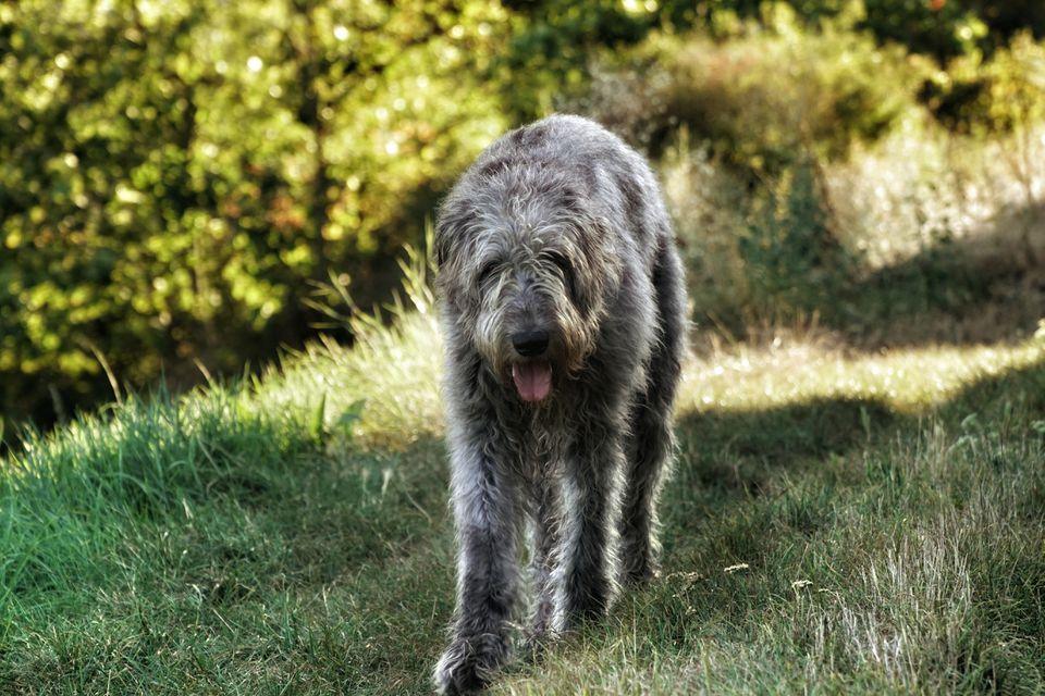 Perro lobo irlandés sobre hierba contra plantas