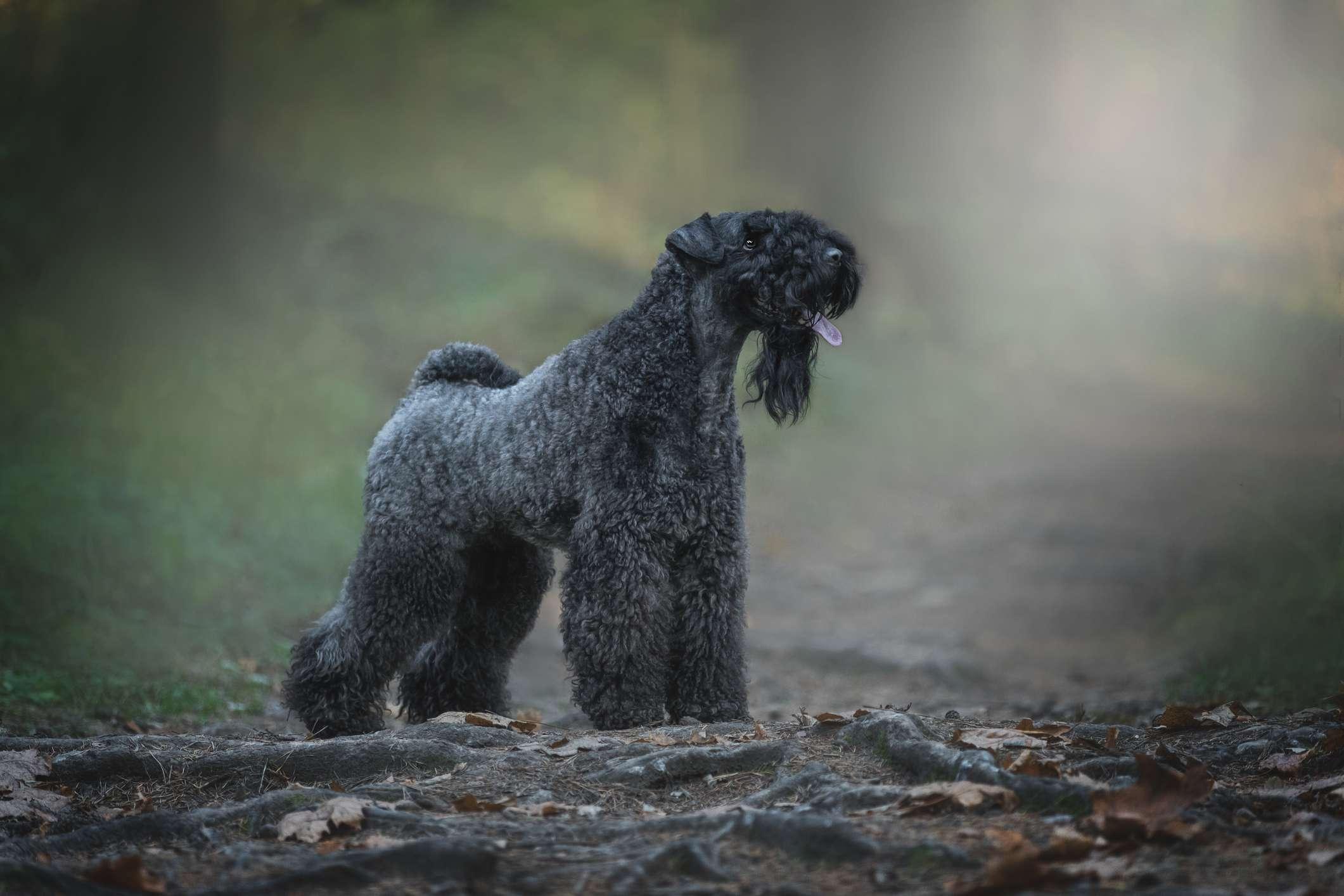 Kerry blue terrier in woods