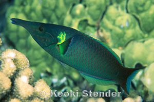 Male Green Bird Wrasse