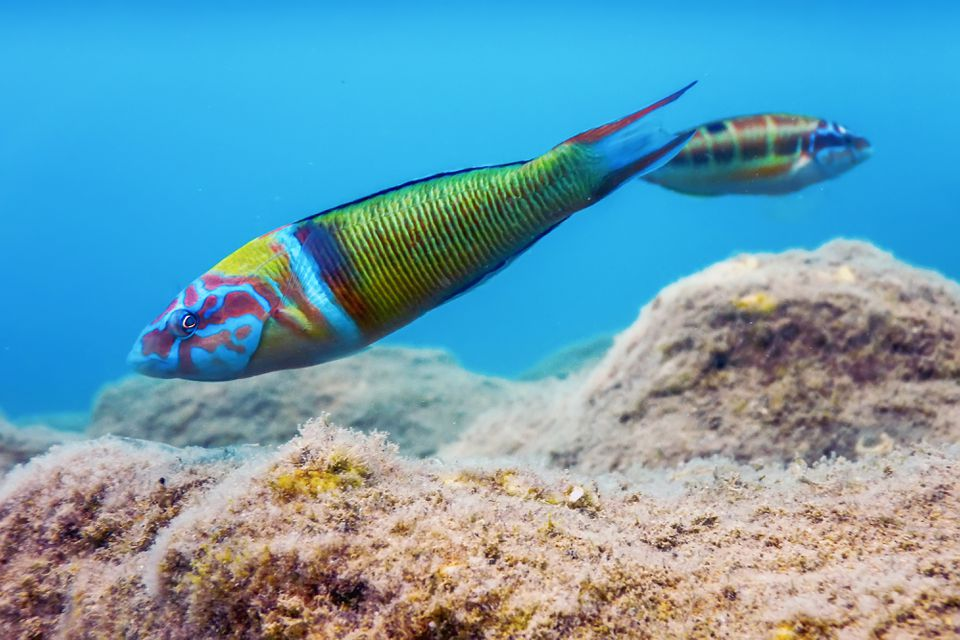 Ornate Wrasse (Thalassoma Pavo) Colorful Fish Underwater