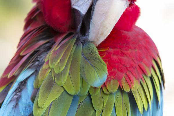 Macaw preening feathers