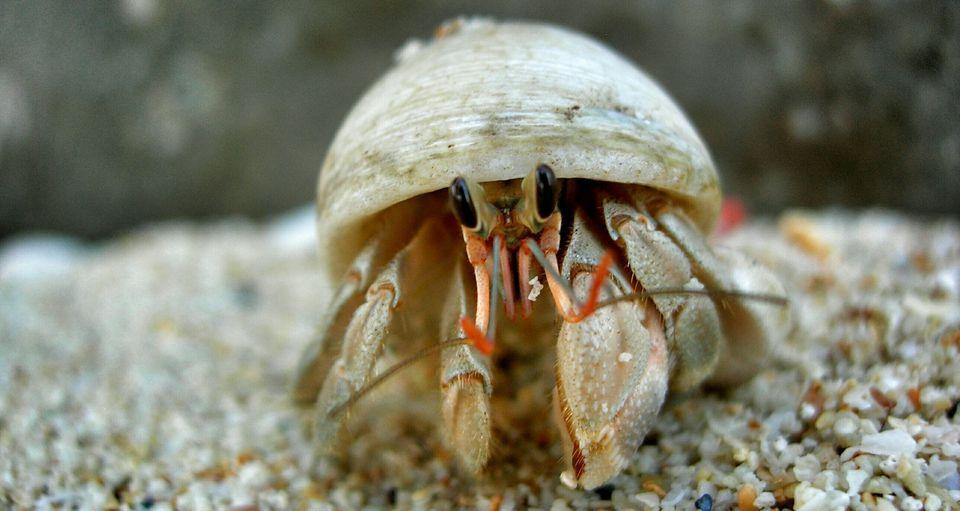 Primer plano de cangrejo ermitaño en el mar