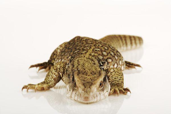 Savannah Monitor lizard, studio shot