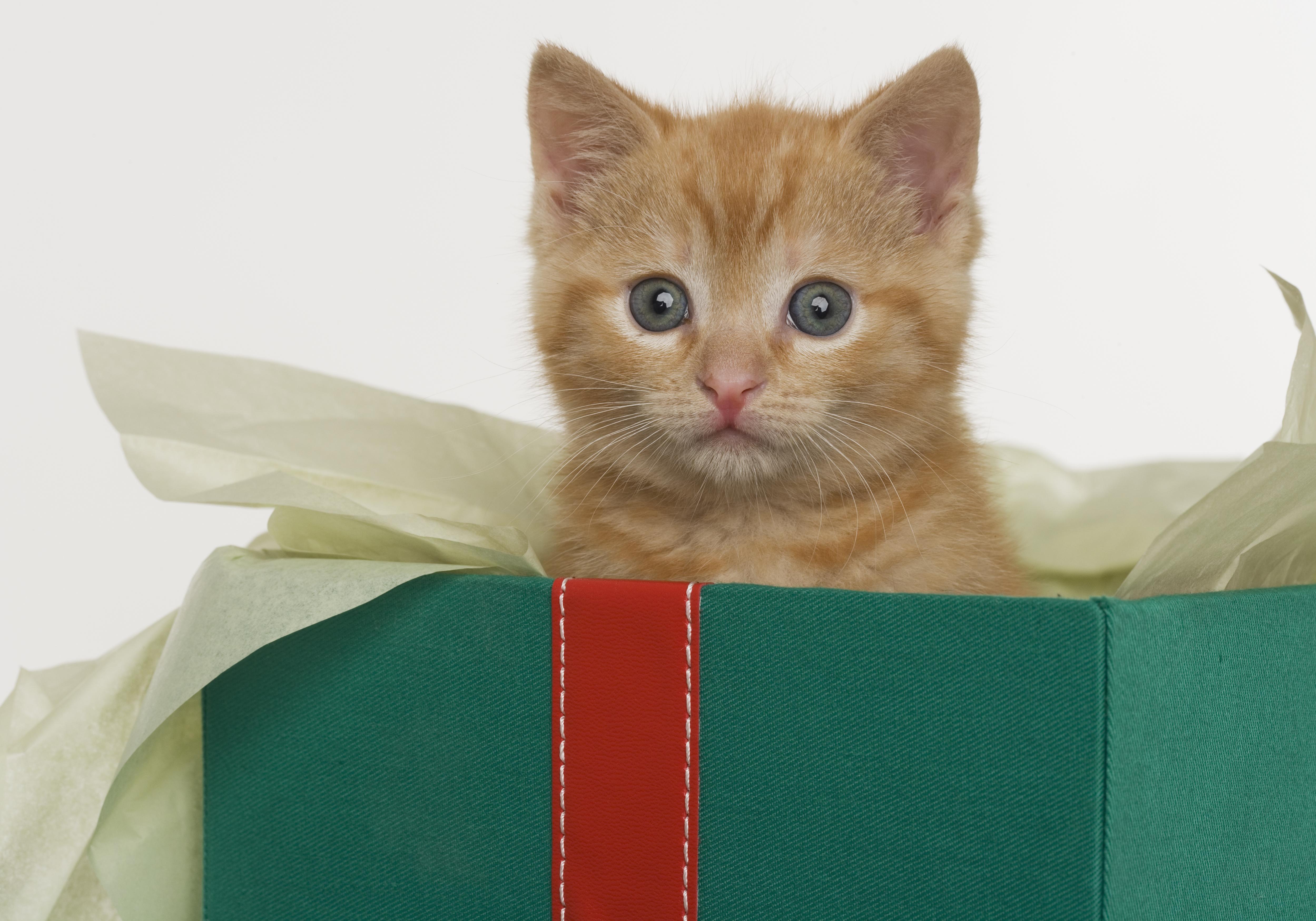 Kitten peeking out of gift box