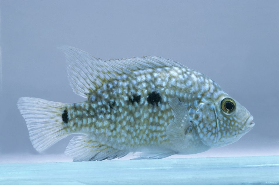Texas cichlid (Herichthys carpintus) underwater, side view
