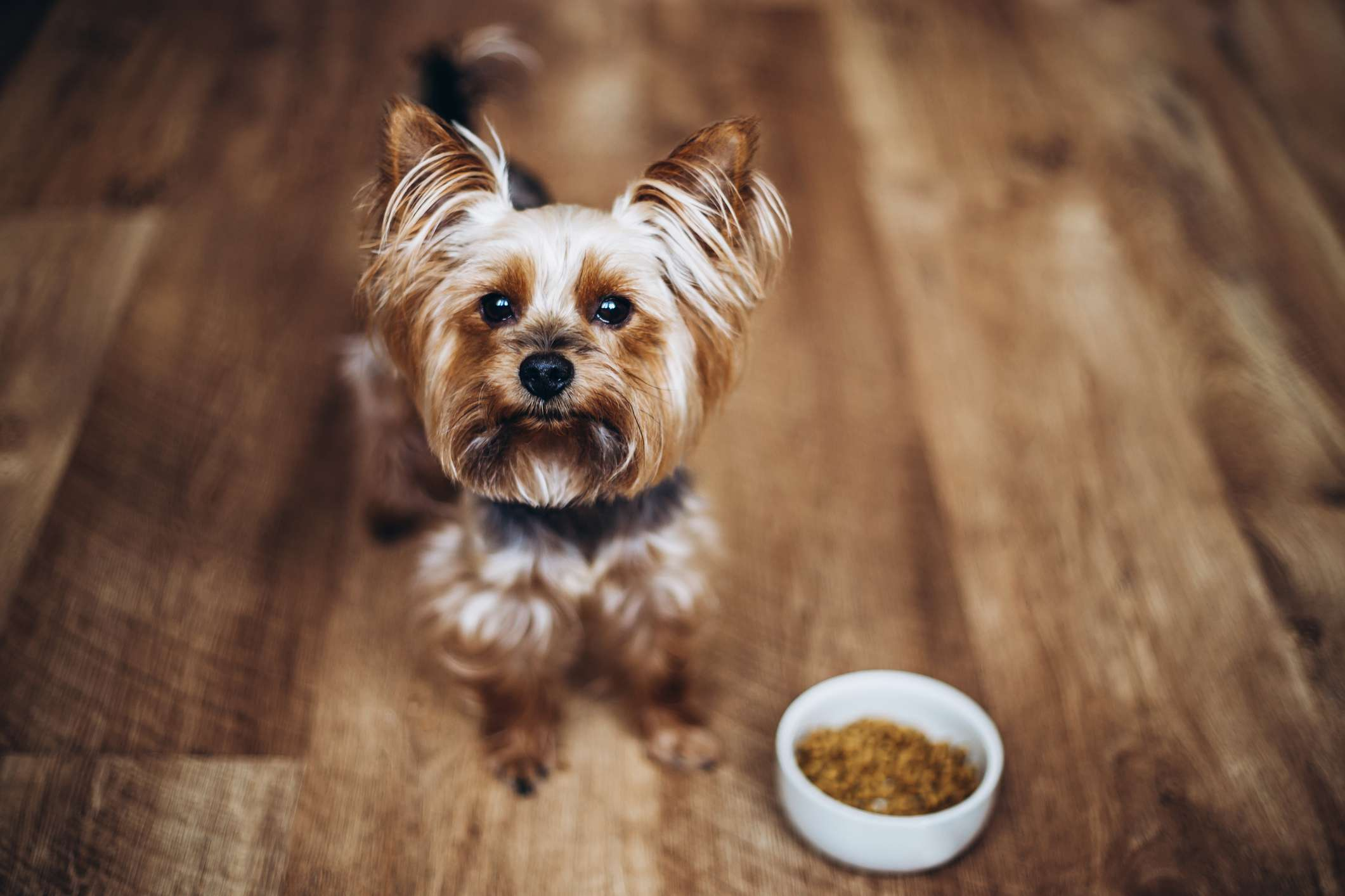 Yorkshire Terrier on wood floor next to bowl of food.