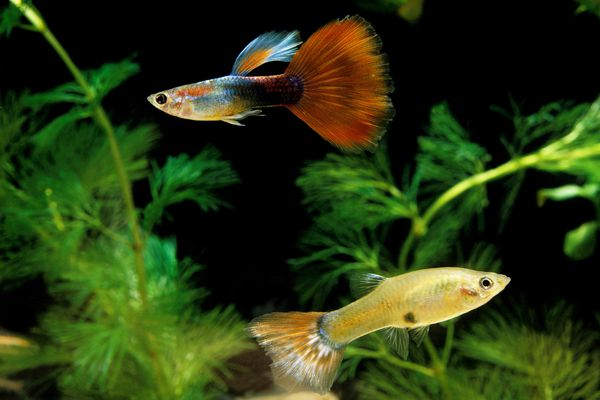 Guppy male and female