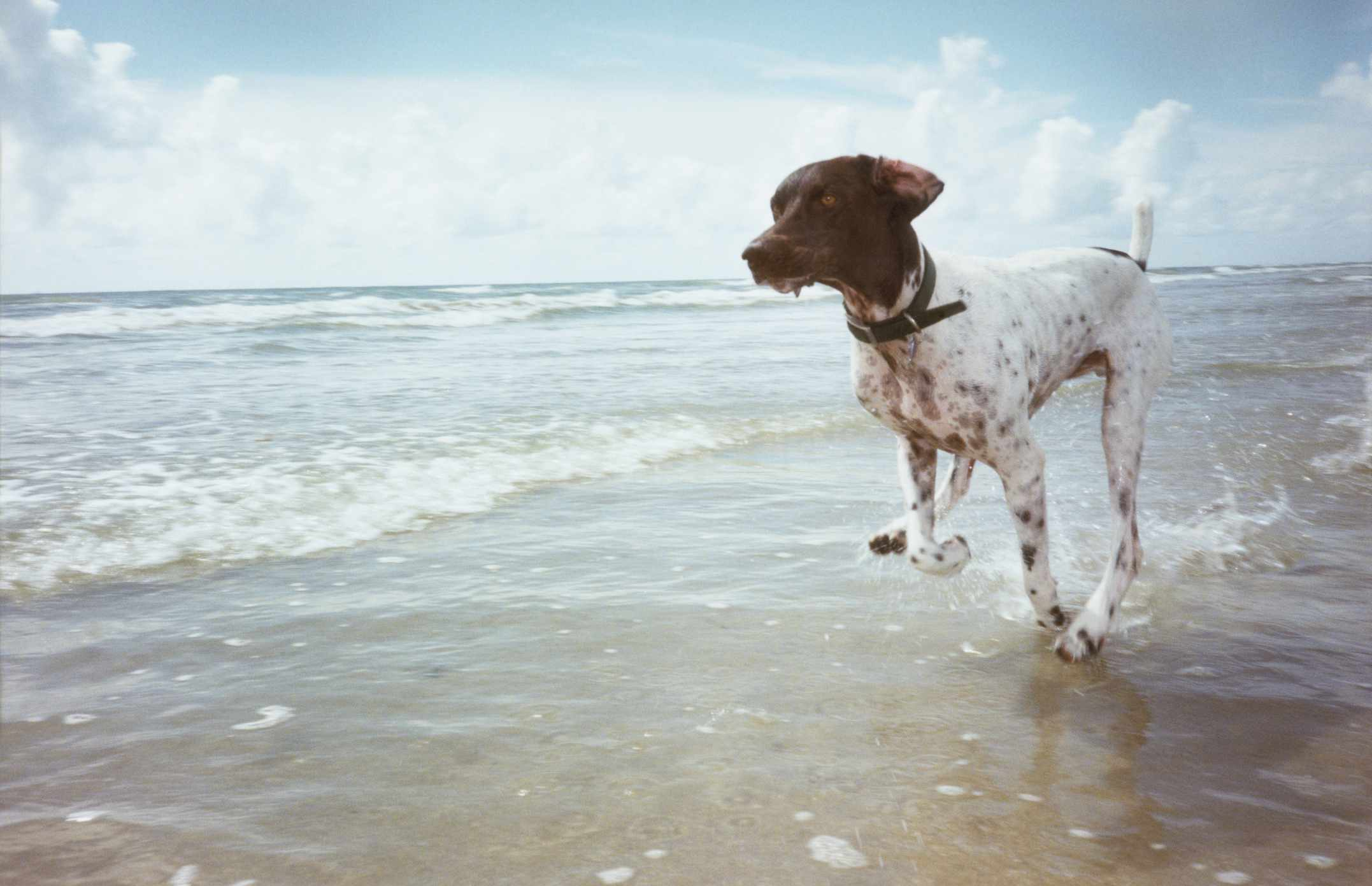 German shorthaired pointer running in surf on the beach