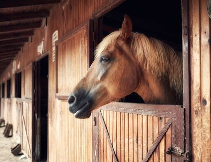 Headshot portrait of a horse in a barn