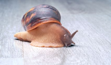 Giant land snail on the floor.