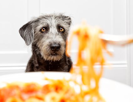 A black furry dog in focus staring at a plate of pasta.