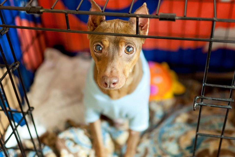 A dog (Miniature Pinscher) wearing a blue sweater sits patiently in his crate.