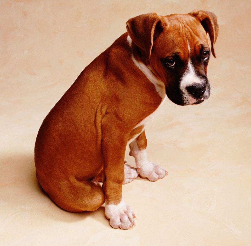 Boxer puppy looking sad