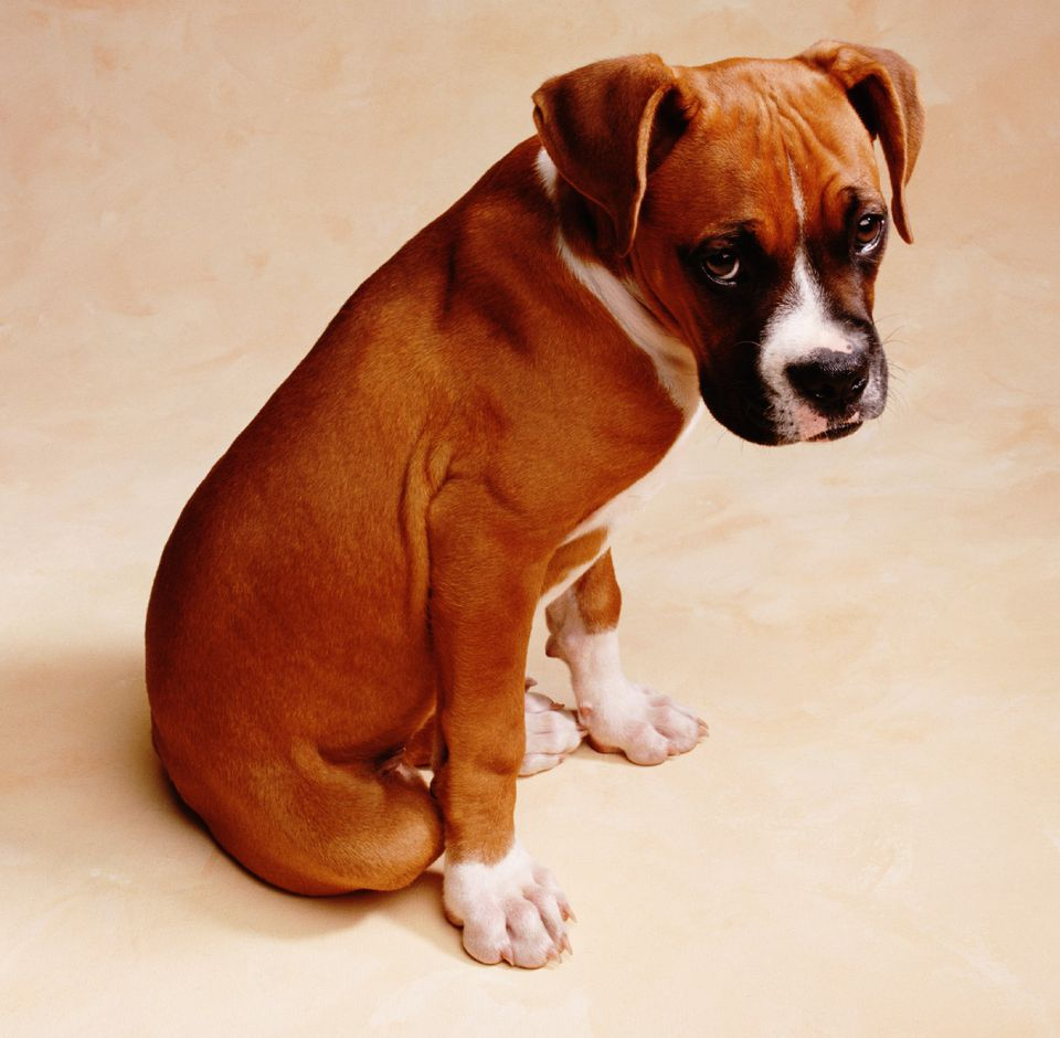 perro boxer mirando avergonzado