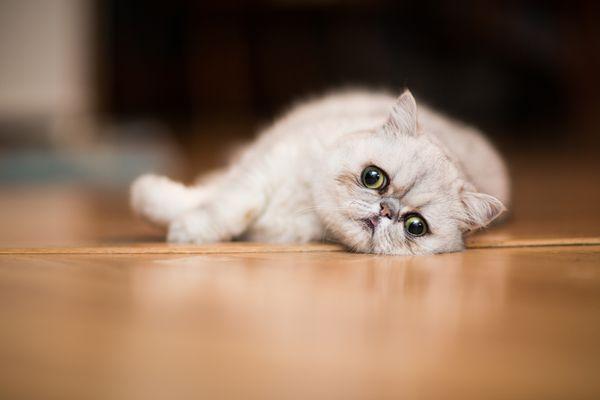 Exotic shorthair cat resting on floor