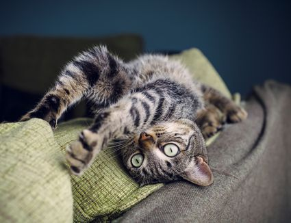 Tabby cat stretching on backrest of a couch
