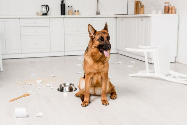 cute German Shepherd sitting on floor with metal bowl and broken dishes in kitchen