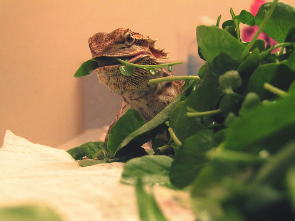 Close-up of bearded dragon feeding on leaf vegetable