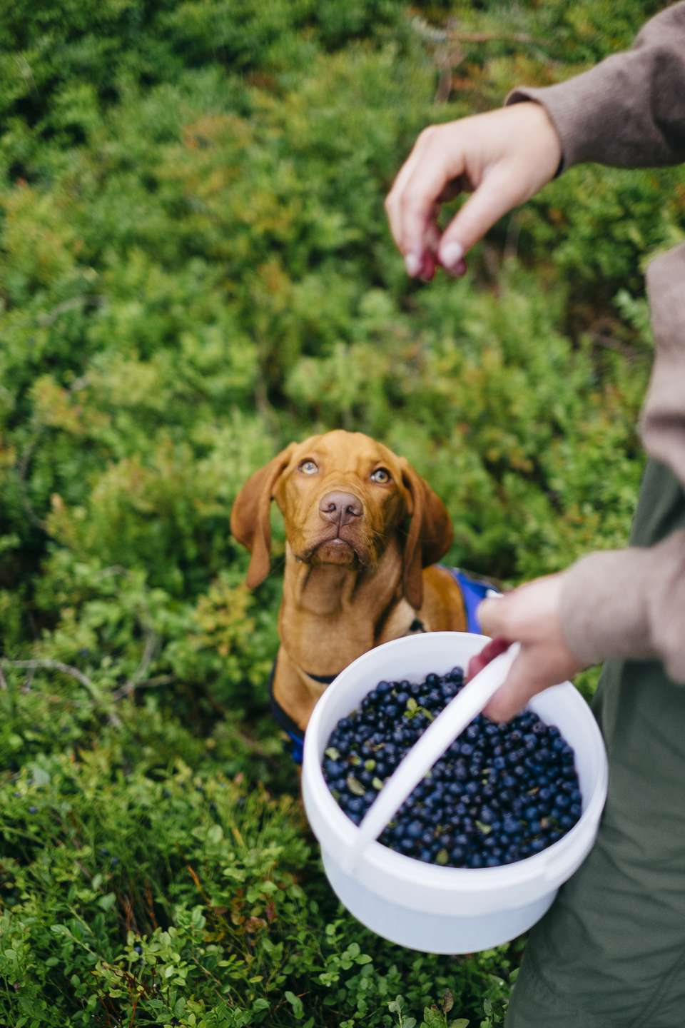 Vizla puppy watching his master pick blueberries in a field