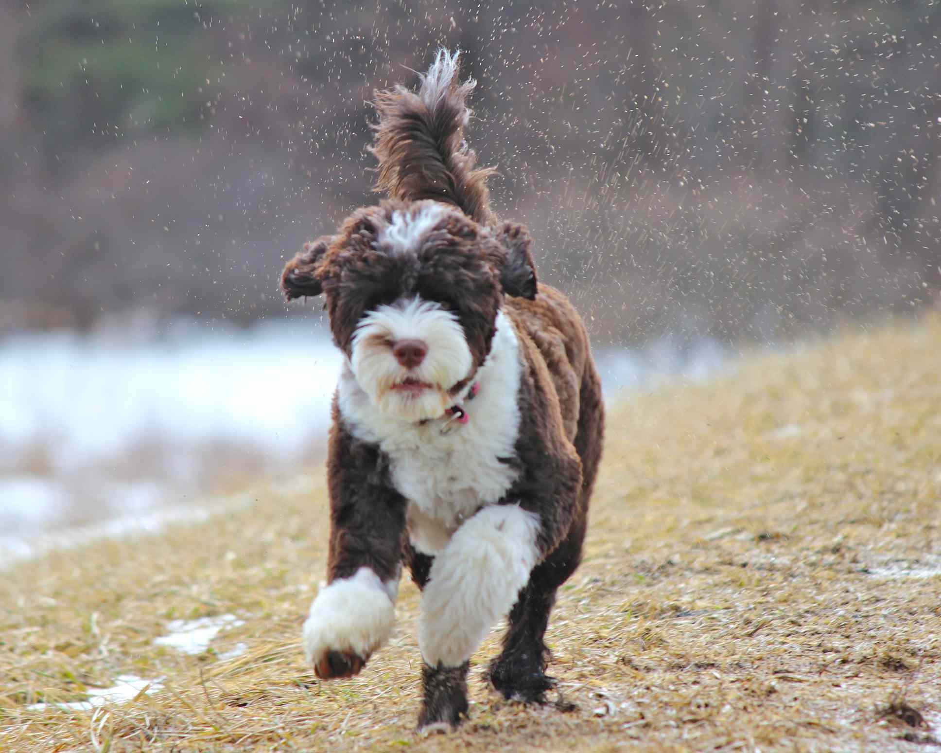 Portuguese water dog running