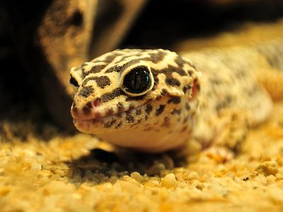 What to Do if Your Leopard Gecko Stops Eating