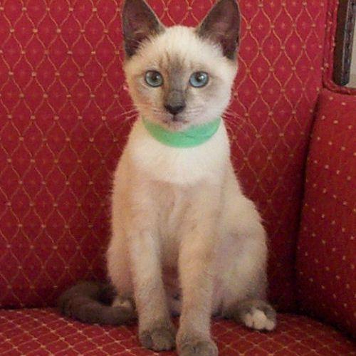 Picture of Siamese cat Sparkle