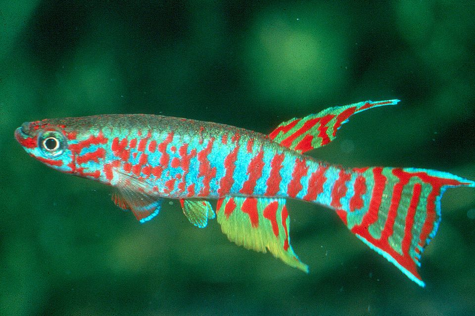 A West African Killifish from Cameroon