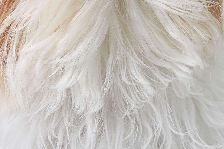 Closeup of Shih Tzu fur