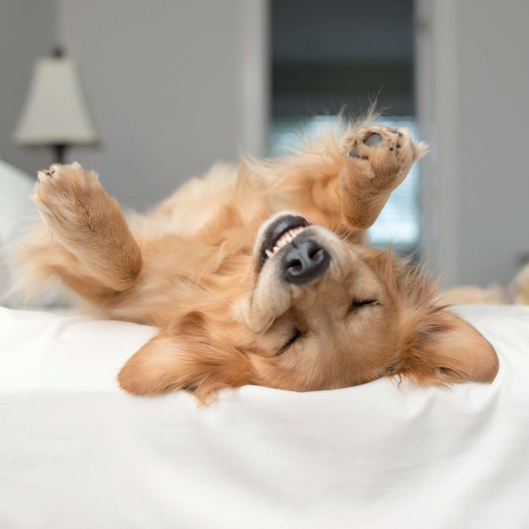 A Golden Retreiver with a Goofy Grin upside down on a bed