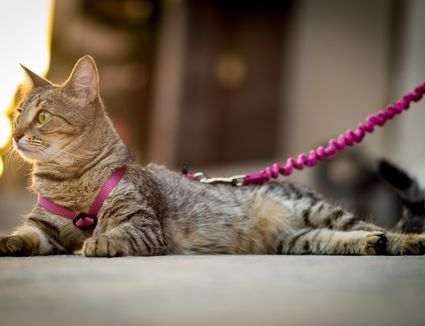 Close-Up Of Cat on leash