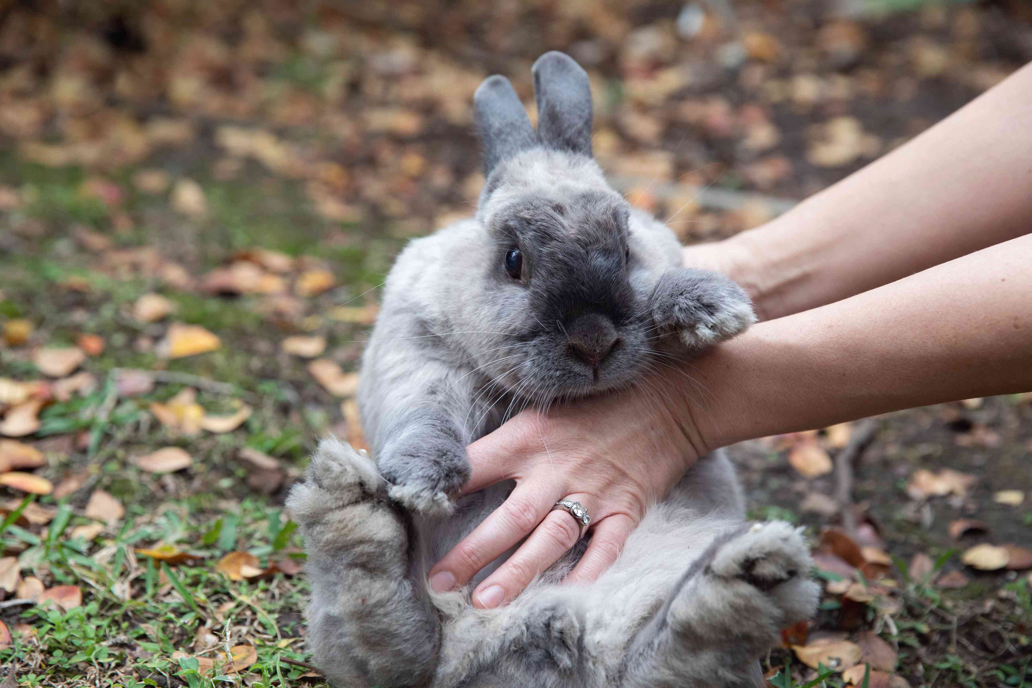 Gray rabbit held up with hands and belly massaged