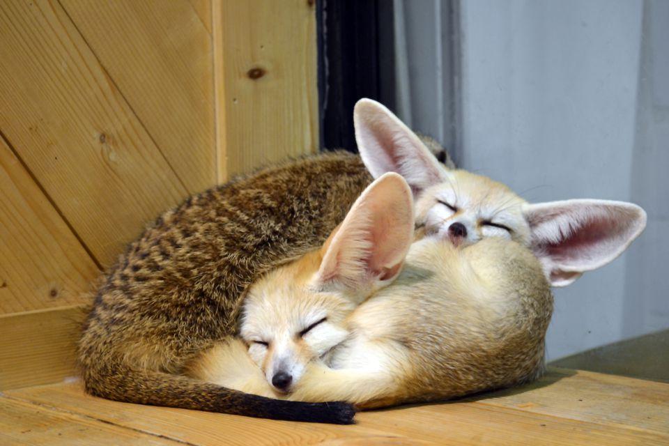 Animales salvajes - fennec gatito dormido