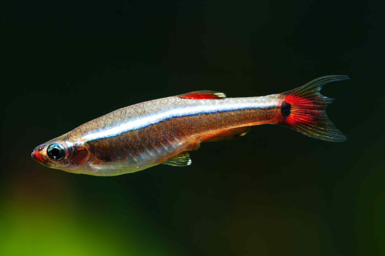 White cloud mountain minnow fish